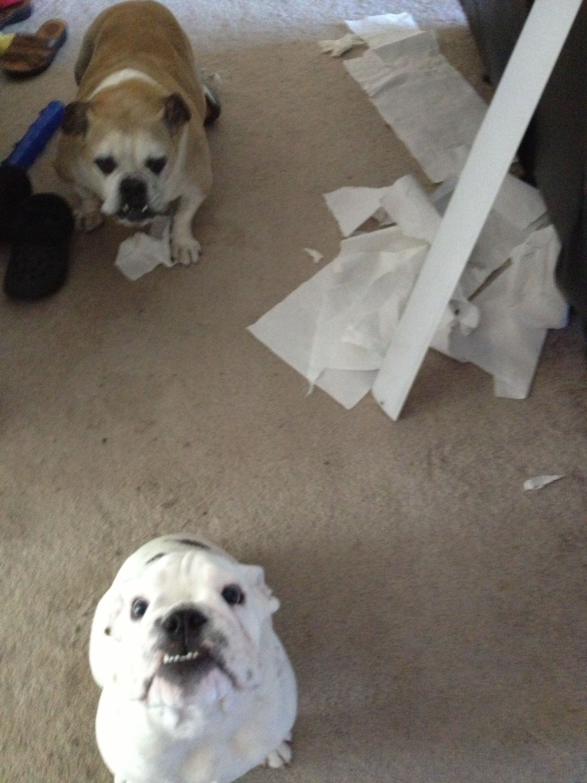 english bulldog puppy mess