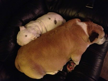 Owned by an English Bulldog - Bullies Love to Snuggle