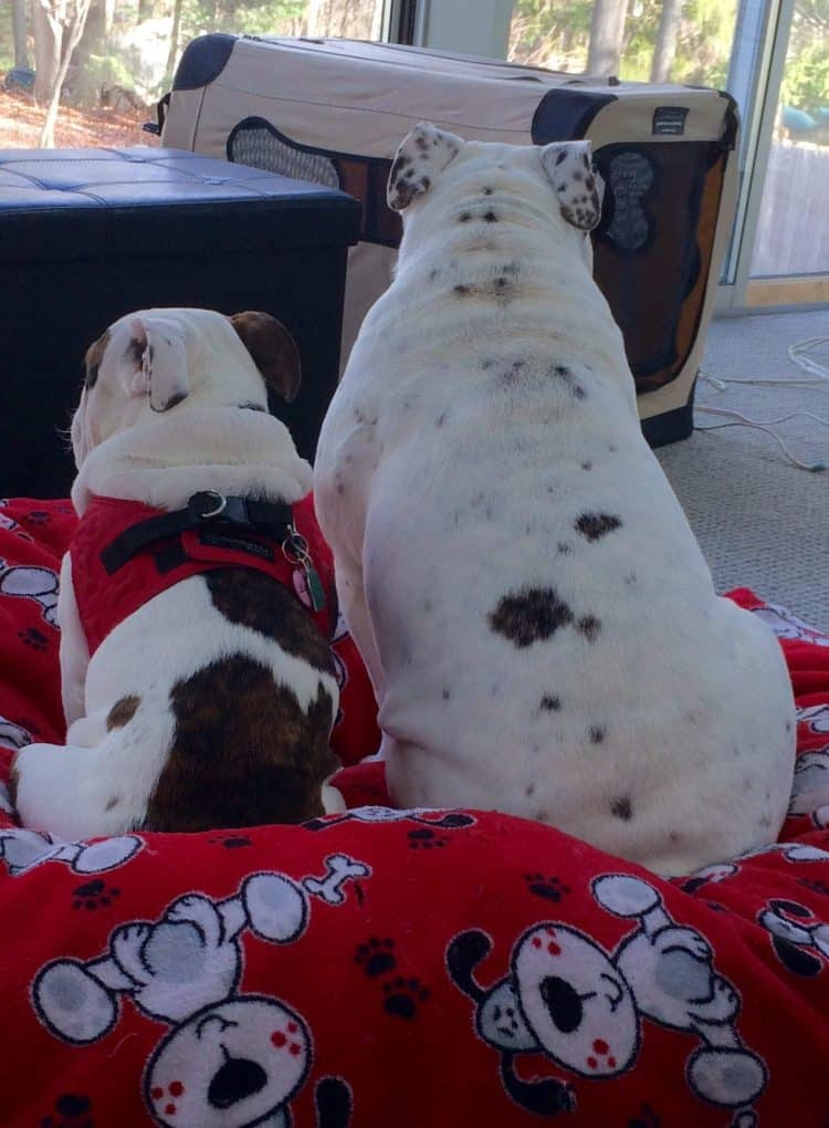 Bully Breeds - Harnesses for Bulldogs