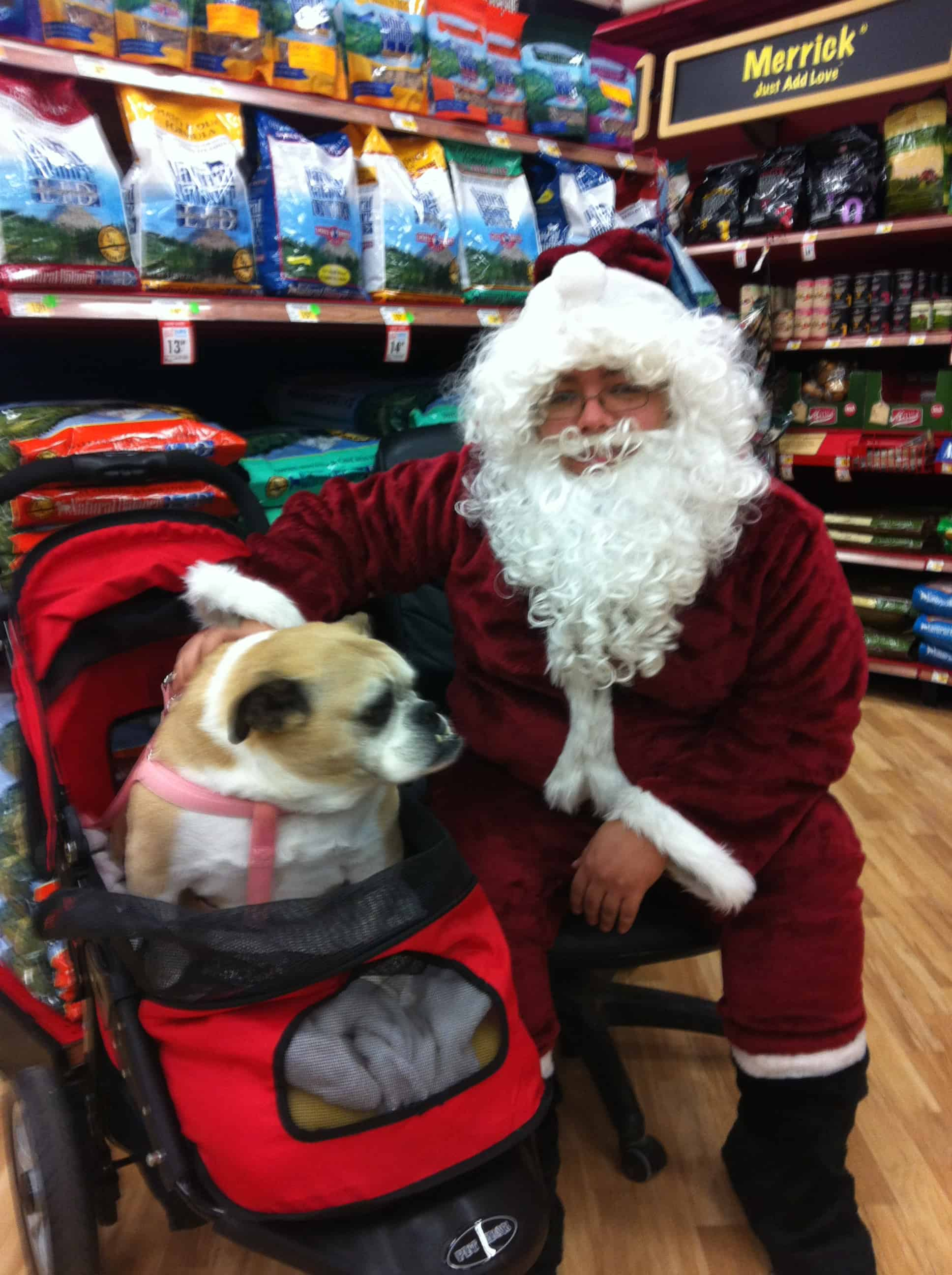 Snoopy visiting Santa in her stroller - senior English Bulldogs and aging