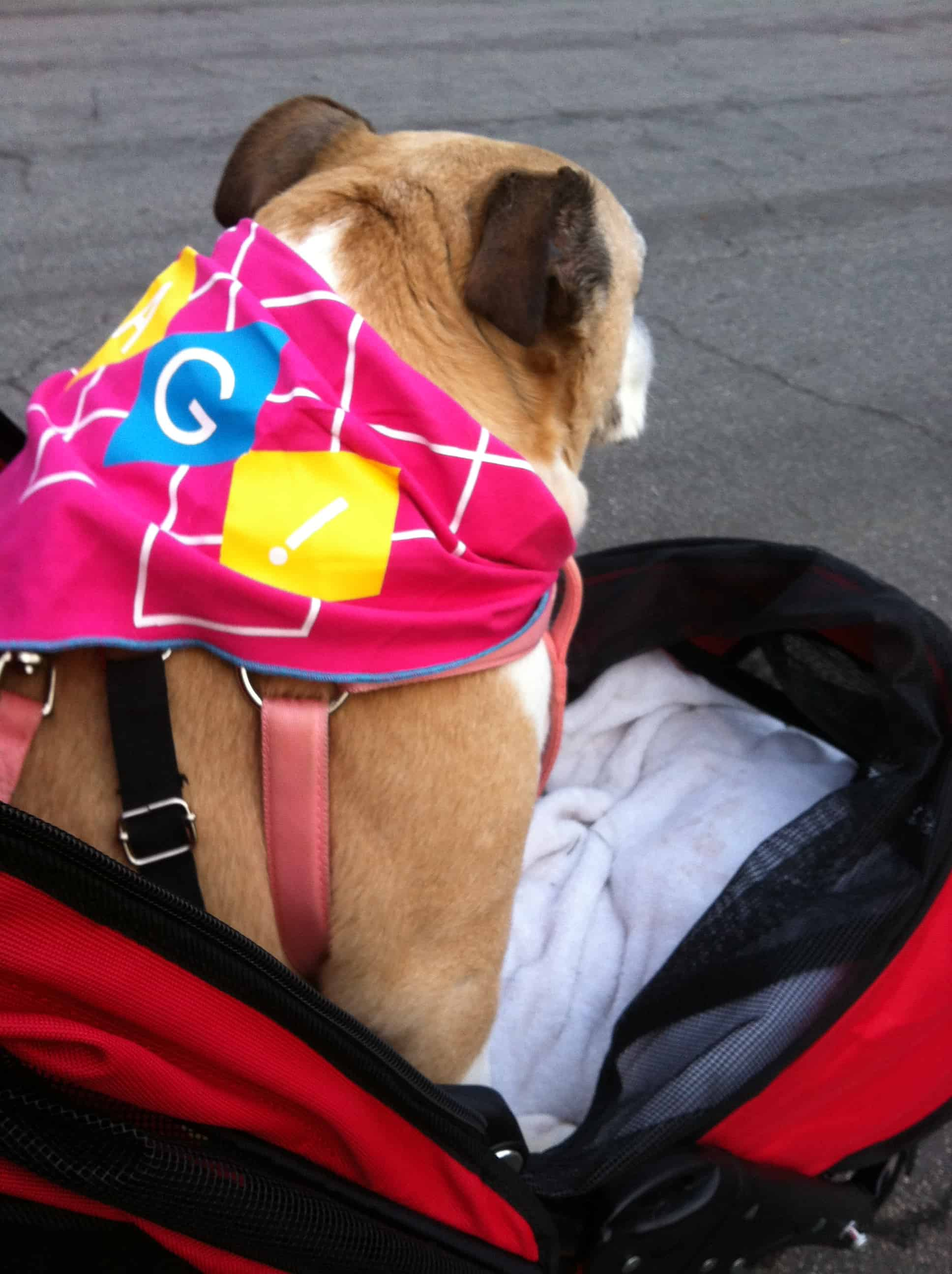 Snoopy in her stroller - senior English Bulldogs and aging