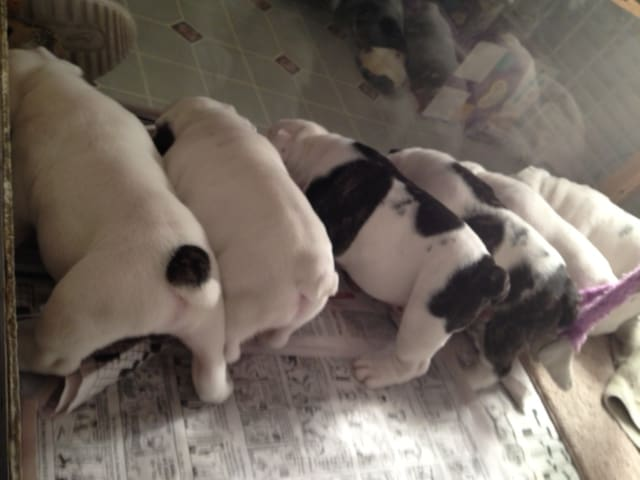 Owned by an English Bulldog - Wrinkle Butts