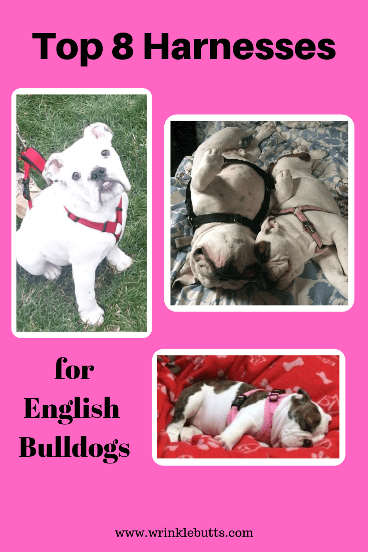 Bully Breeds - Top 8 Harnesses for English Bulldogs