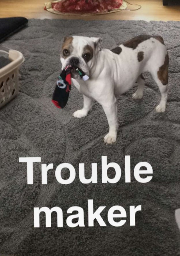 Layla - Sassy Girl - Troublemaker - Bulldog Harnesses