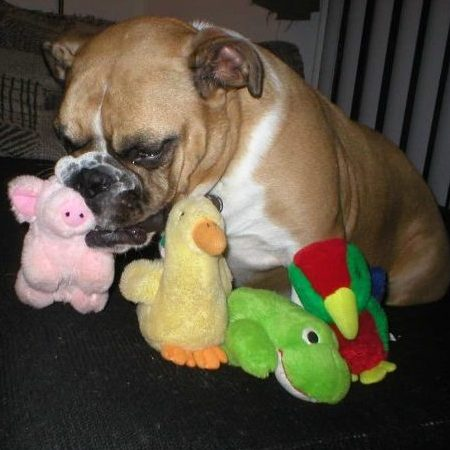 Best Toys for English Bulldogs Reviewed