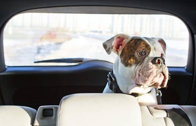 Bulldog in car - traveling with your dog