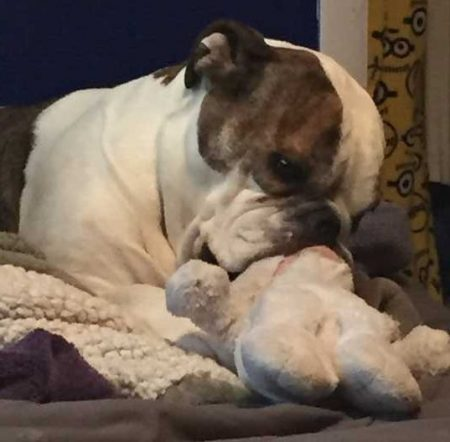 Owned by an English Bulldog - Suckling Stuffie Toy
